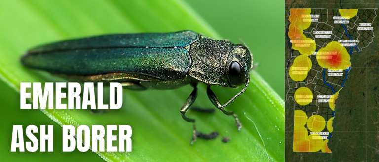 The emerald ash borer has infested numerous counties in Vermont.