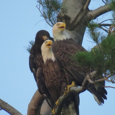 Family of eagles seem to pose for Nicki Steel's camera.