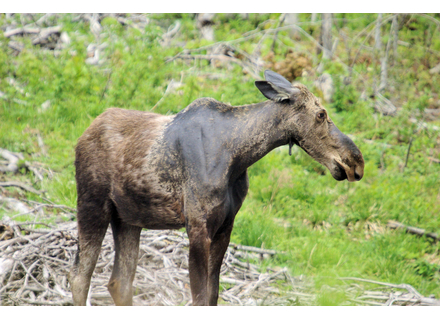 A tick-infested moose has lost its fur by attempting to rub the ticks off its body.